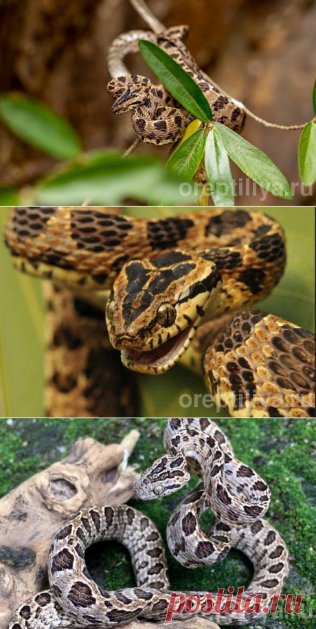 Бойга многопятнистая (Boiga multomaculata) — описание вида