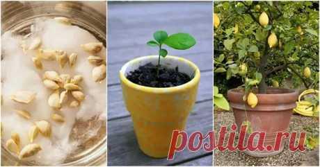 Чем подкармливать лимон в домашних условиях и когда вносить удобрения? - Цветочки - медиаплатформа МирТесен