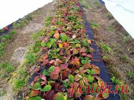 Как я перестала клубнику весной обрезать и ягод стало больше: почему весной клубнике нужны старые листья | 6 соток