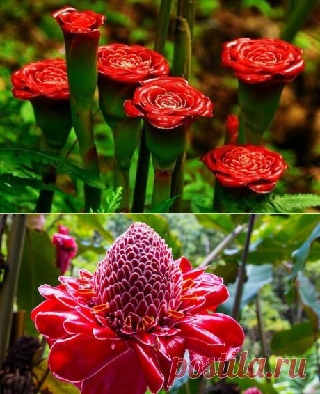 Имбирь цветёт - потрясающее зрелище!!!