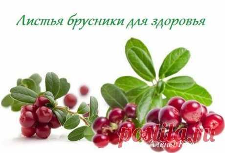 Брусничный лист - полезные свойства, при беременности, от отёков, польза и вред