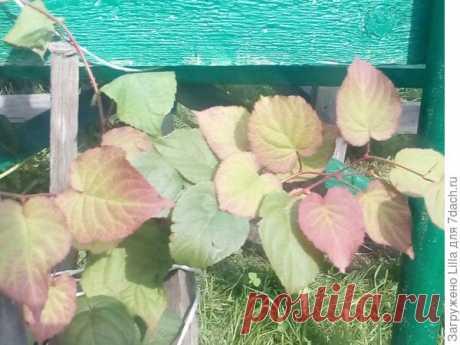 Помогите определить пол растения актинидия коломикта - ответы экспертов 7dach.ru