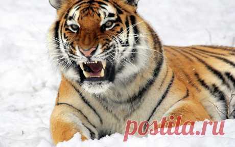 Охотник на тигров-людоедов, который стал святым | ПроЧтение | Яндекс Дзен