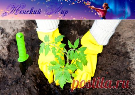 Как высаживать рассаду томатов в грунт и теплицу » Женский Мир