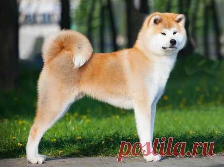Японская собака Акита -ину!