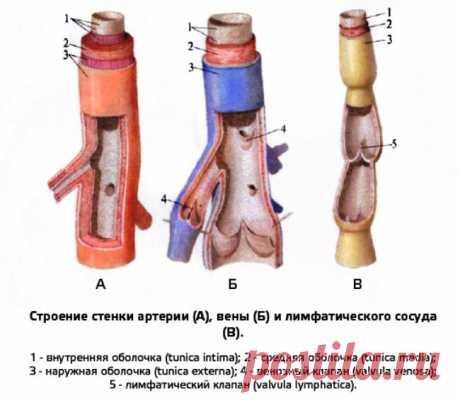 Строение стенки артерии, вены, лимфатического сосуда