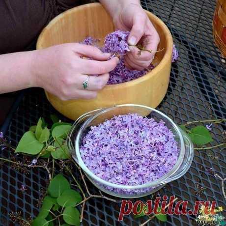 ЗАПОЛНИТЕ БАНКУ РАСТИТЕЛЬНЫМ МАСЛОМ И ФИОЛЕТОВЫМИ ЦВЕТКАМИ.... Захватывающий волшебный аромат сирени невозможно забыть! Нежный и сладкий запах цветущих весенних садов наполняет нас приятными ощущениями. Но не каждый знает о лекарственных свойствах некоторых цветов. Вот, к примеру, обычная сирень. А ведь она способна помочь организму справиться со многими заболеваниями. Цвет сирени Лечебные свойства сирени известны в народной медицине не одну сотню лет. Она в изобилии росла...