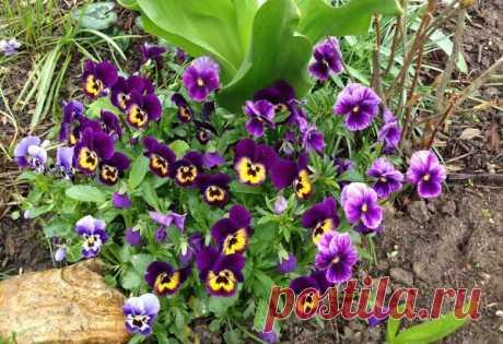 Выращивание Виолы без рассады. Анютины глазки - неприхотливые цветы в саду | Есть время под луной | Яндекс Дзен