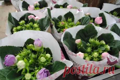 Красота из маленького семени — выращиваем глоксинию из семян - Цветочки - медиаплатформа МирТесен