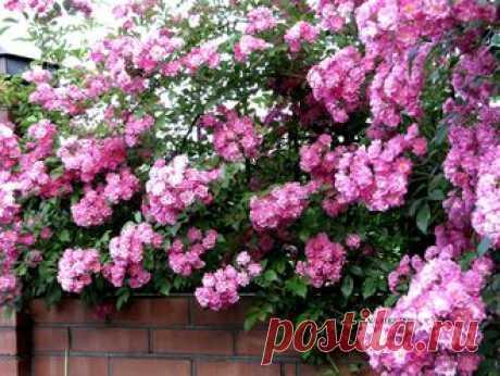 Розы - Роза плетистая Super Dorothy - укорененный черенок .