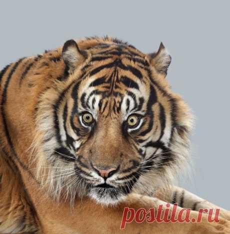 Эти портреты больших кошек показывают, насколько разными могут быть их характеры
