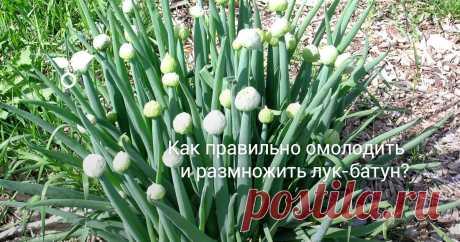 Как правильно омолодить и размножить лук-батун? Лук-батун, или татарка относится к группе многолетних травянистых растений. Лук-батун отличается повышенной морозоустойчивостью, сохраняя неповрежденными листья-перья при снижении температуры воздуха до -10°С. С ранней весны и до поздней осени формирует большое количество зеленых перьев, которые быстро восстанавливаются после срезки. Среди ранних овощных культур батун занимает ведущее место. Как размножить и омолодить лук-бат...