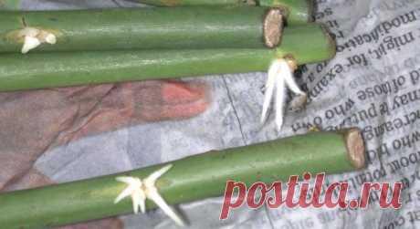 Размножение роз методом буррито или укоренения черенков роз в газете — Мир Растений