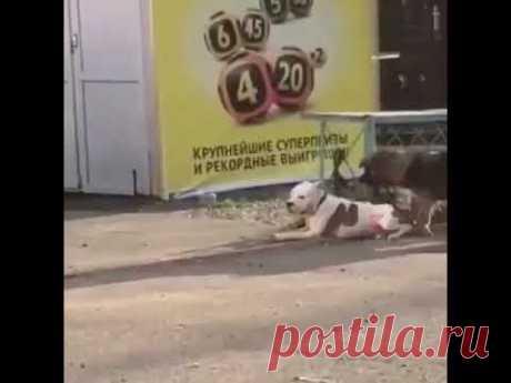 Точнее, сначала пыталась отвязать, а потом перегрызла поводок. После чего утянула пса с места, где он ждал хозяина. Но далеко животные убежать не сумели.