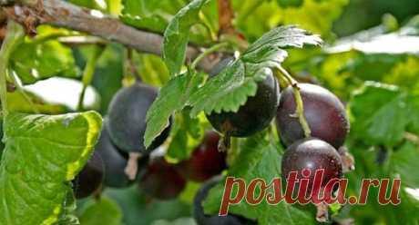 Как выращивать йошту на садовом участке: размножение, посадка и особенности ухода