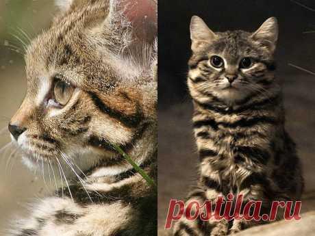 Черноногая кошка — самый беспощадный охотник в мире   Если у вас есть кошка, то вы знаете, что под их пушистым внешним видом часто скрывается стальное сердце. Поэтому неудивительно, что крошечная очаровательная дикая кошка является одной из самых успешных охотников в мире. Это милое создание, похожее на Ваську из соседнего двора — черноногая кошка из Южной Африки.