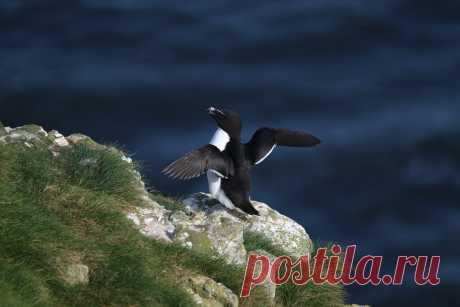 Статья о водоплавающей северной птице гагарке. Они молчаливы, но иногда издают душераздирающий звук. Пернатые находятся под охраной.