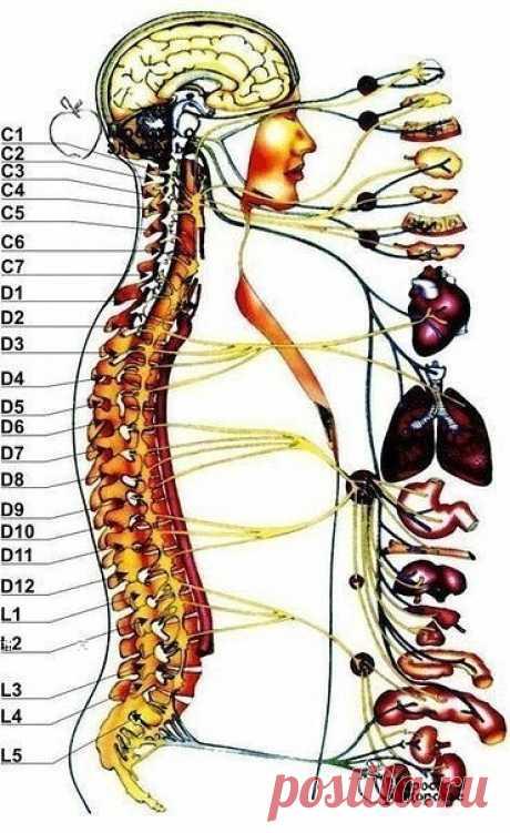 Жалобы при болях отдельных позвоночников и что это означает Первый шейный позвонок (С 1, атлант): Головные боли, мигрень, ослабление памяти, хроническая усталость, головокружение, артериальная гипертензия, недостаточность мозгового кровообращения.  Второй шейный позвонок (С 2, осевой позвонок) ......читать далее  Воспалительные и застойные явления в придаточных пазухах носа, боли в области глаз, ослабление слуха, боли в ушах.  Третий шейный позвонок (С З)  Лицевые невралги...