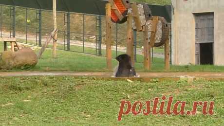 Медведь обрел свободу после долгих лет жизни в клетке   Поделиться на Facebook ВКонтакте Twitter Одноклассники В Китае добычей медвежьей желчи, которую потом добавляют в лекарственные препараты. Причем делают это, фактически издеваясь над животными. Звер…