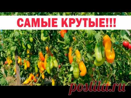 Сезон 2020! Самые лучшие, самые устойчивые, самые вкусные, самые урожайные томаты!!!