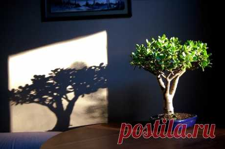 Денежное дерево: как получить красивое и здоровое растение?