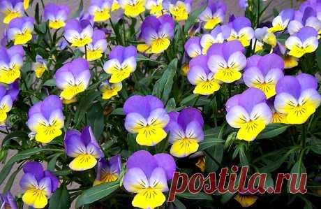 Фиалка или цветок одиночества: легенда происхождения — Чудеса