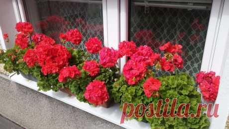 Будет выбрасывать один цветок за другим: чем подкормить герань, чтобы стимулировать обильное цветение