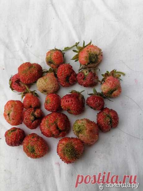 Кто испортил мои ягоды? / Асиенда.ру