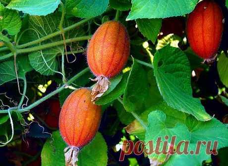 Плоды  похожие  на  мелкие  огурцы...