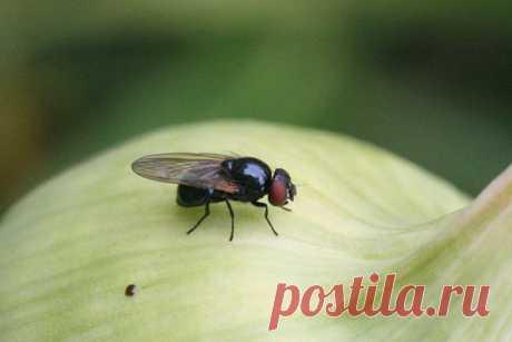 Как избавится от луковой мухи — Мой садочек