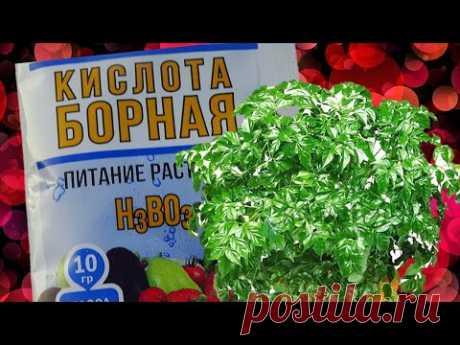Зачем нужна Борная кислота для комнатных растений! Стоит ли использовать? - YouTube