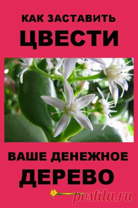 Как заставить цвести ваше домашнее денежное дерево — Бабушкины секретики