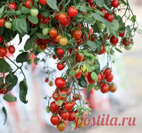 Ампельные томаты — правда или ложь? Описание сортов. Личный опыт. Фото — Ботаничка.ru