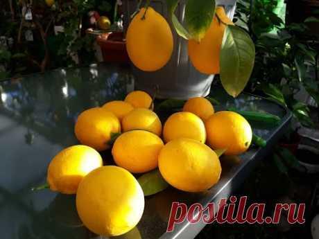 Лимон Мейер. Как из покупного саженца вырастить полноценное плодоносящее деревце
