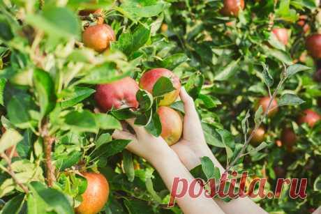 Как понять, что пора собирать урожай яблок? Степень зрелости плодов. Фото — Ботаничка.ru