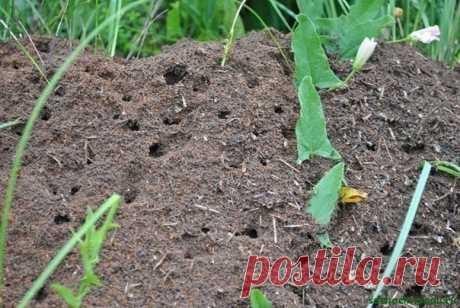 СОДА ОТ МУРАВЬЕВ  Докучливых муравьев на огороде у нас не мало.Вот еще один из довольно простых способов от них избавиться.Разводим в 10 л воды 1 пачку соды и заливаем полученный раствор в пластмассовые бутылки, в которых крышки прокалываем в нескольких местах.Теперь мы во всеоружии. И когда во время прополки встречаются муравьиные гнезда, необходимо разворошить их тяпкой, полить содовым раствором и закрыть обратно землей.Делать это лучше вечерком, а к утру муравьи обычно пропадают.