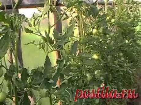 Лучшие (томаты) помидоры - Подрезка листьев.