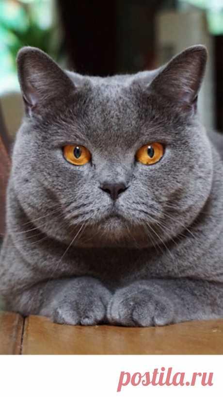 Trendy cats british shorthair animals 47+ ideas
