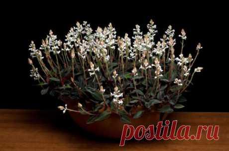 Орхидея драгоценная лудизия уход в домашних условиях