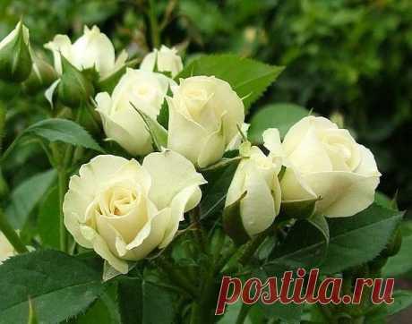 Розы: защита от вредителей и болезней, бордюрная лента для клумбы