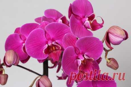 Уход за цветущей орхидеей, чтобы дольше цвела