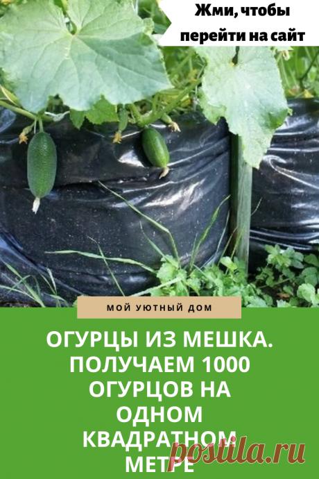 Получаем огромный урожай огурцов выращивая их в мешке