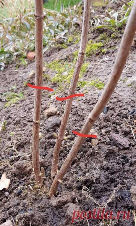 Как нужно обрезать древовидную гортензию весной, чтобы она зацвела большими и пышными цветами | MyFlowersDream | Яндекс Дзен