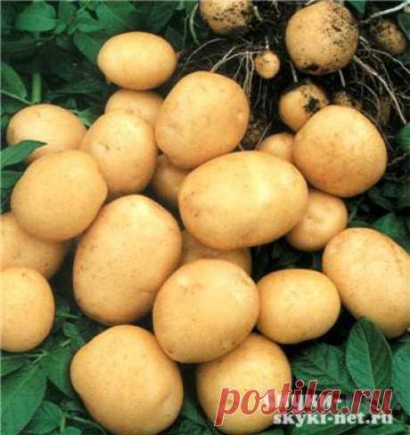 Простой способ увеличить плодородность картофеля. Советы для дачников