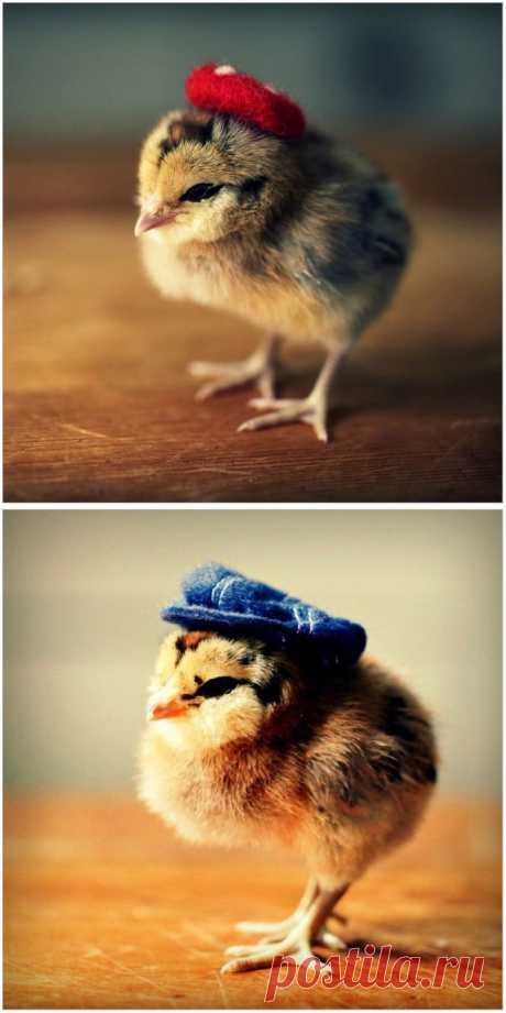 Веселые фотографии - цыплята в шляпках Джулии Персонс | Оригинальные идеи для творчества