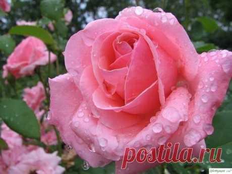8 хитростей выращивания роз — Садоводка