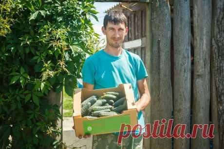 На Кубани поспели первые огурцы. Где их купить? Весной, в пору авитаминоза, особенно хочется свежих фруктов и овощей. Но в... Читай дальше на сайте. Жми подробнее ➡