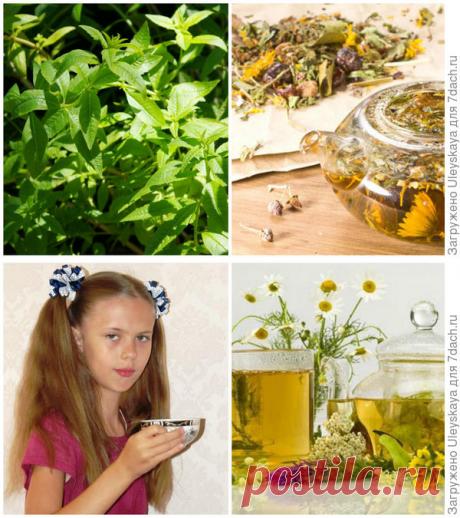 27 растений для чая. Полезные свойства, особенности сбора, заготовки и приготовления