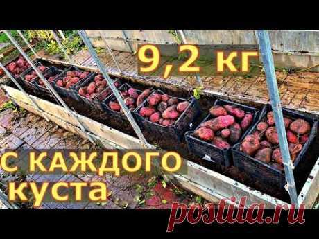 СВЕРХ УРОЖАЙ картофеля ТРЕХМЕТРОВАЯ ботва. Выращивание картофеля в грядках коробах