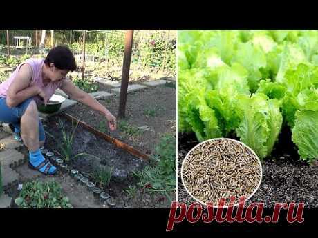 Как сеять листвой салат   Последнее время сею салат по другому